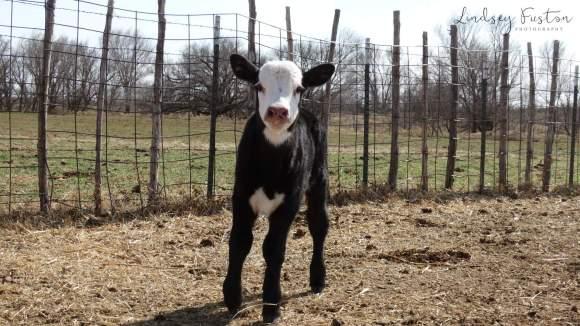 New Baby Calves